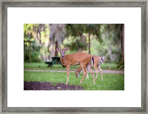 Feeding Deer Framed Print