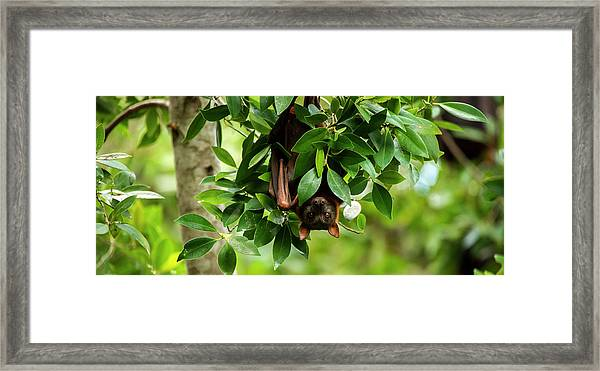 Framed Print featuring the photograph Flying Fox Bat by Rob D Imagery