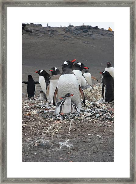Gentoo Penguin Barrientos Island, South Framed Print by Tom Norring
