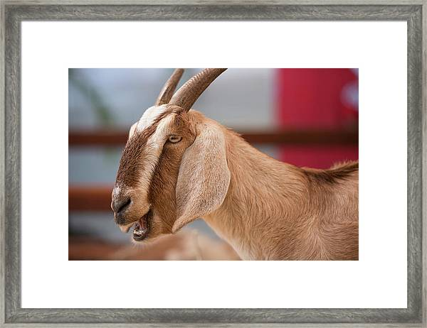 Framed Print featuring the photograph Goat by Rob D Imagery