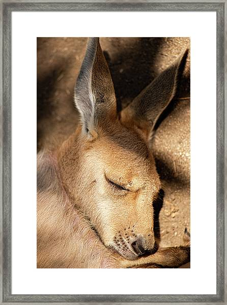 Framed Print featuring the photograph Kangaroo Joey by Rob D Imagery