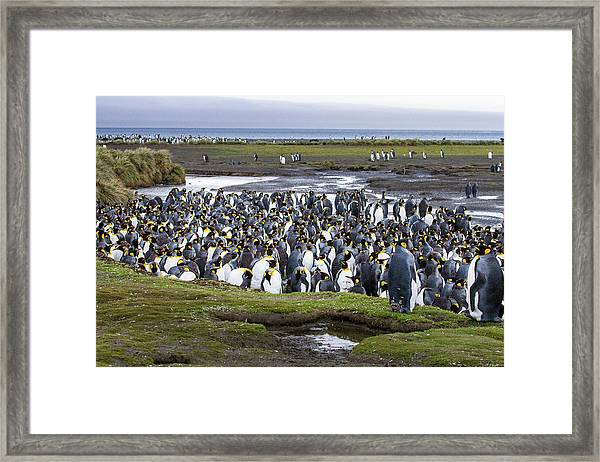 King Penguin Rookery At Salisbury Plain Framed Print by Tom Norring