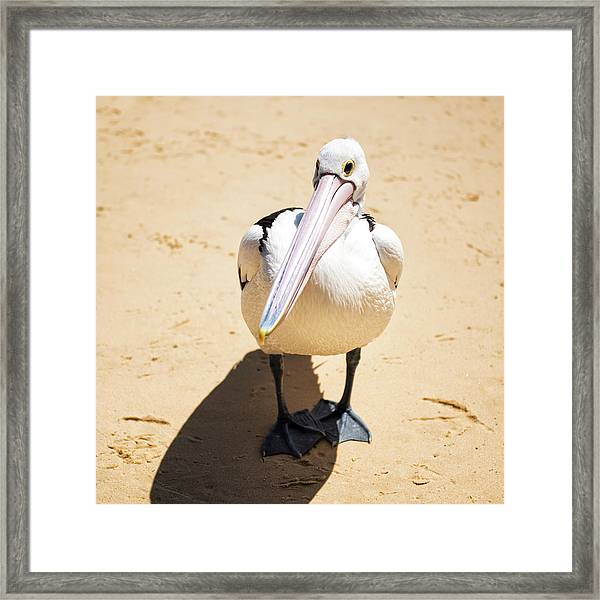 Framed Print featuring the photograph Pelican During The Day by Rob D Imagery