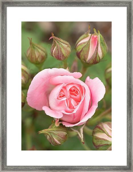 Pink Rose, International Rose Test Framed Print by William Sutton