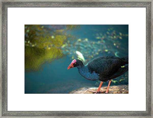 Framed Print featuring the photograph Purple Swamphen by Rob D Imagery