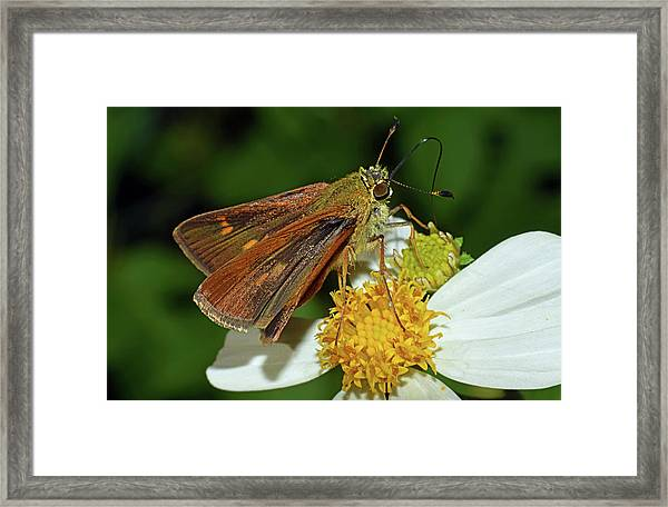 Skipper Butterfly Framed Print