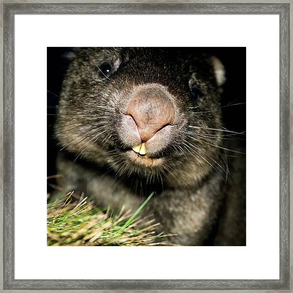 Framed Print featuring the photograph Wombat At Night by Rob D Imagery
