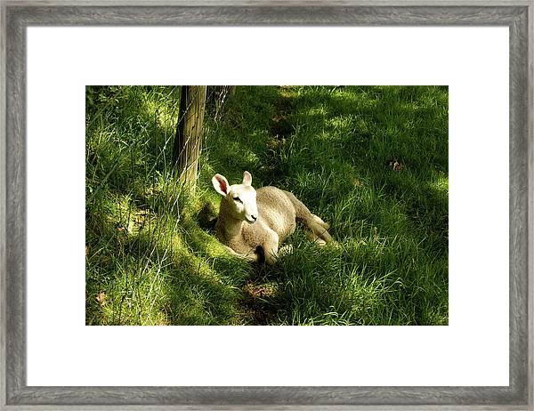 20/06/14  Keswick. Lamb In The Woods. Framed Print
