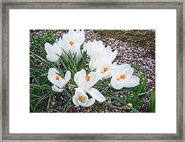 25/03/18  Ramsbottom Chocolate Festival. White Crocuses. Framed Print