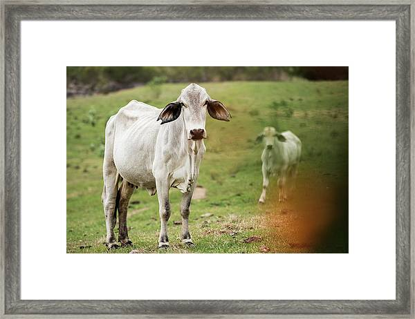 Framed Print featuring the photograph Australian Cow by Rob D Imagery