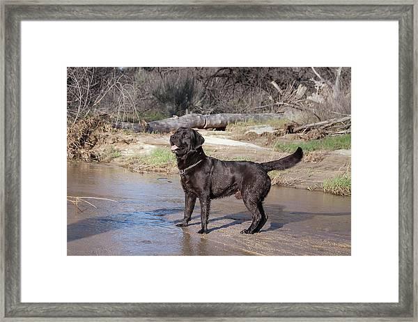 Black Labrador Retriever Standing Framed Print by Zandria Muench Beraldo
