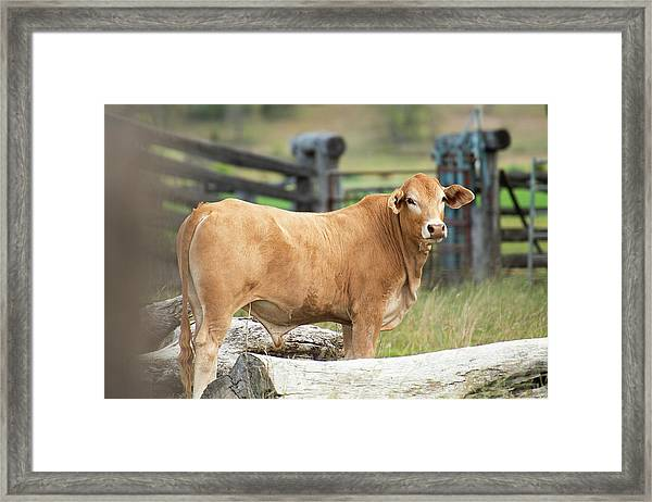 Framed Print featuring the photograph Bull In The Country Side. by Rob D Imagery