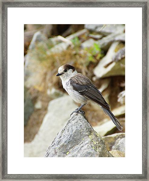 Camprobber - The Gray Jay Framed Print