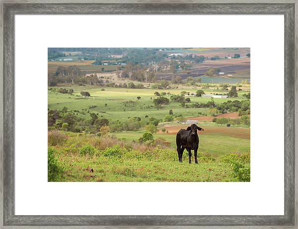 Framed Print featuring the photograph Cow Outside In The Paddock by Rob D Imagery