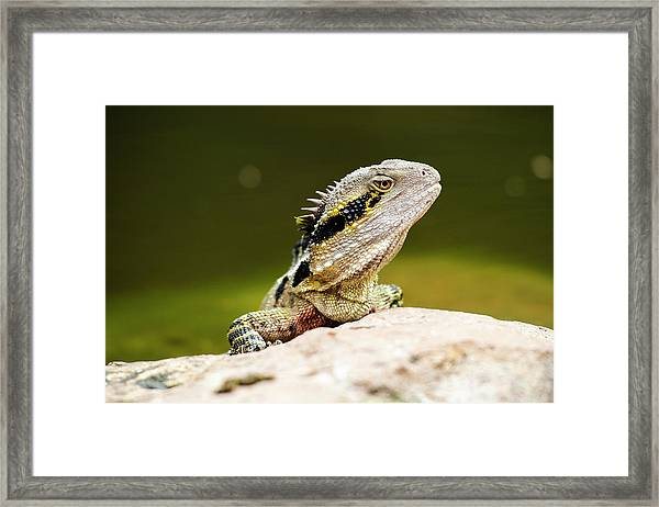 Framed Print featuring the photograph Eastern Water Dragon Lizard by Rob D Imagery