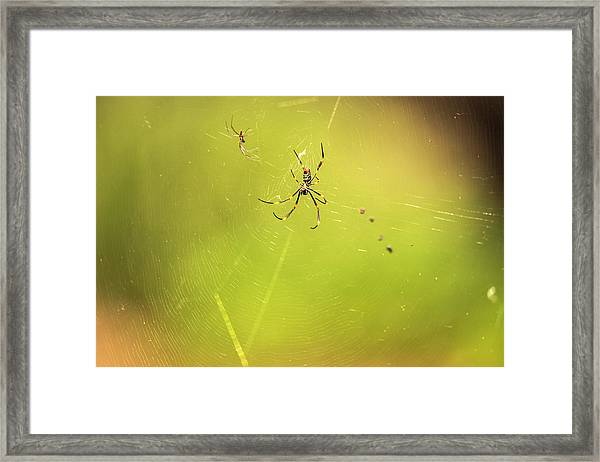 Framed Print featuring the photograph Golden Orb Spider. by Rob D Imagery