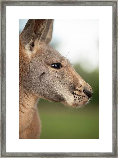 Framed Print featuring the photograph Kangaroo Outside During The Day Time. by Rob D Imagery
