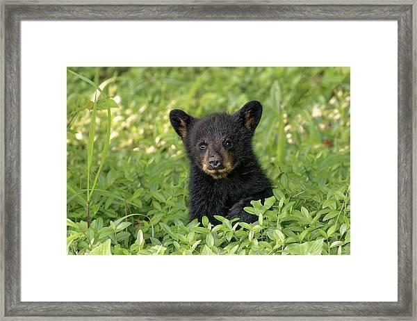 Young Black Bear Cub, Ursus Americanus Framed Print by Adam Jones