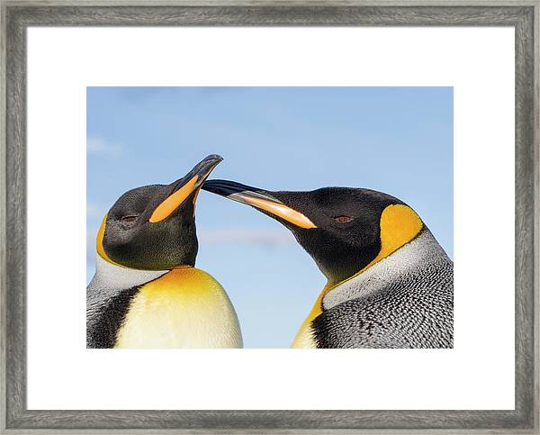 King Penguin On The Falkland Islands Framed Print by Martin Zwick