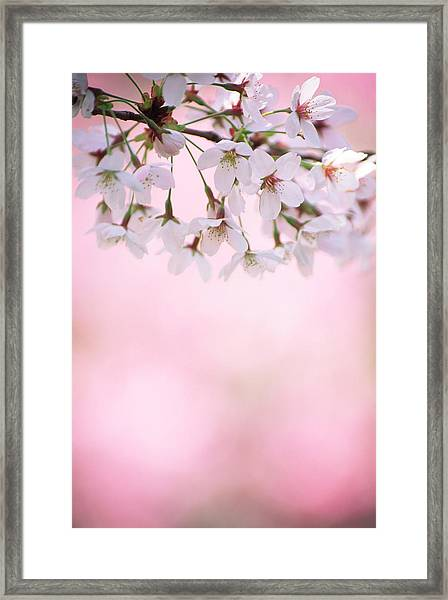 Cherry Blossoms Framed Print by Ooyoo