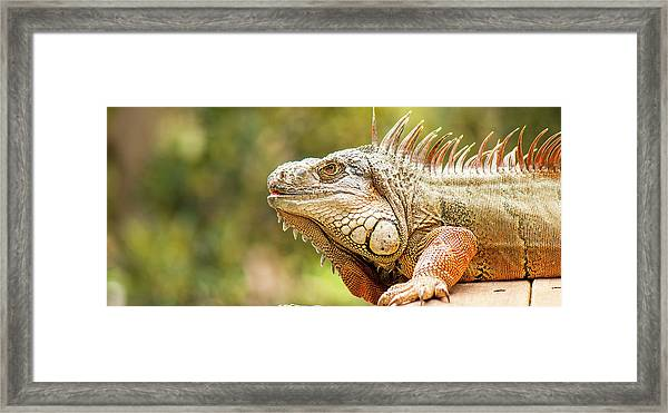 Framed Print featuring the photograph Green Iguana by Rob D Imagery