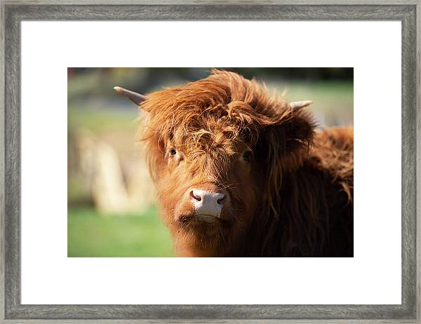 Framed Print featuring the photograph Highland Cow On The Farm by Rob D Imagery