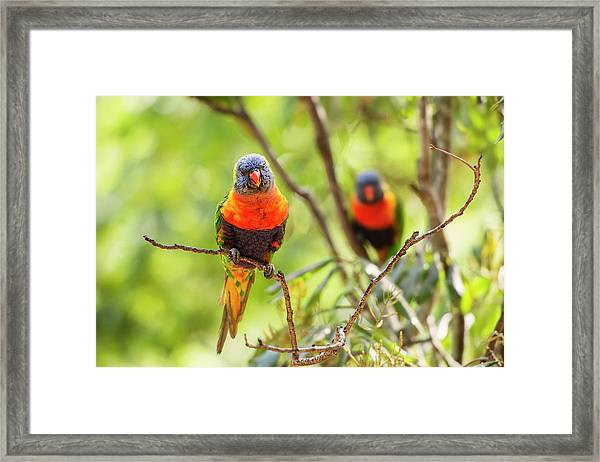 Framed Print featuring the photograph Rainbow Lorikeets by Rob D Imagery