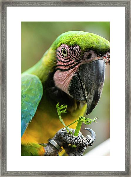 Framed Print featuring the photograph Beautiful Macaw Bird by Rob D Imagery