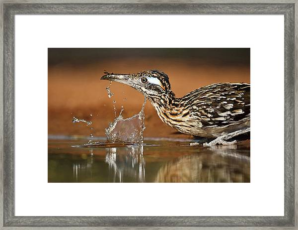 Greater Roadrunner Geococcyx Framed Print by Danita Delimont