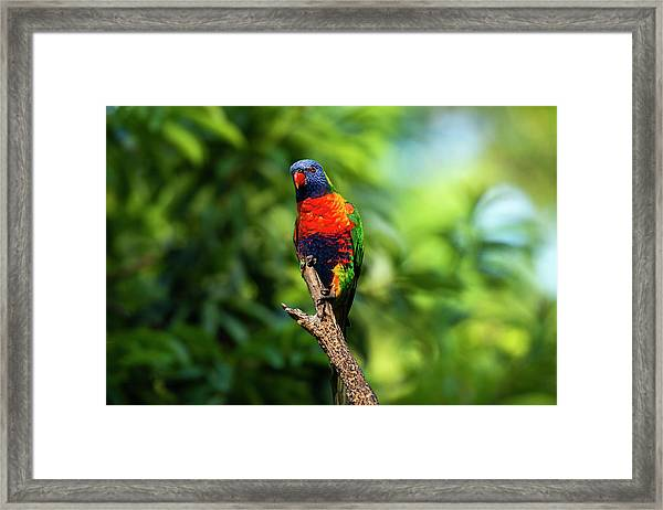 Framed Print featuring the photograph Rainbow Lorikeet by Rob D Imagery