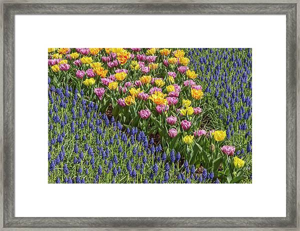 Tulips, Skagit Valley Tulip Festival Framed Print by Adam Jones