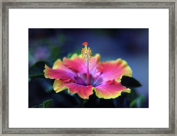 Hibiscus Delight Framed Print