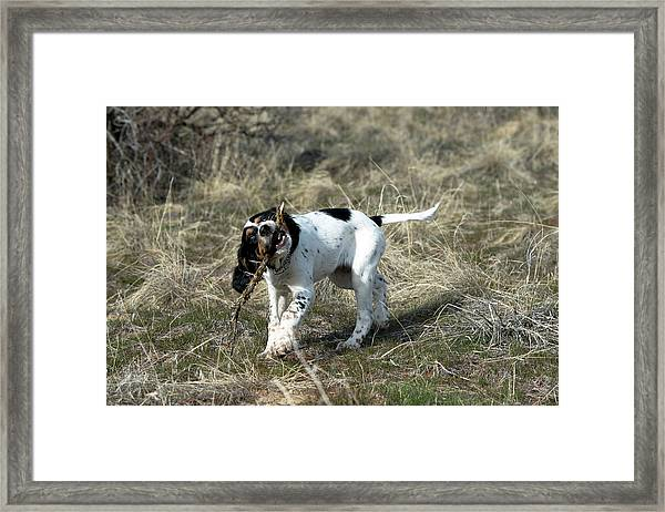 English Setter Puppy, 14 Weeks Framed Print by William Mullins