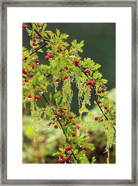 Hawthorn Tree St Stephen's Heritage Framed Print by Stuart Westmorland