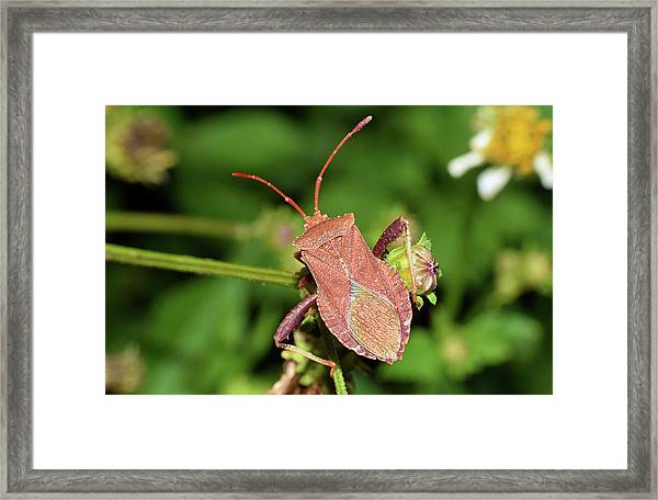Leaf Footed Bug Framed Print