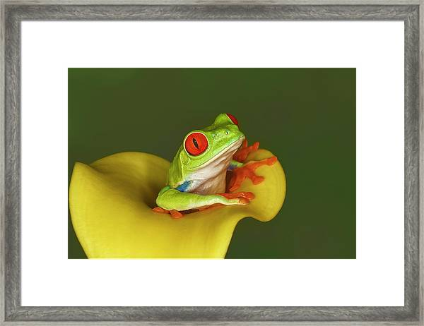 Red-eyed Tree Frog Framed Print by Adam Jones