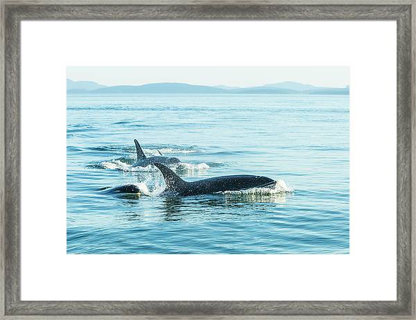 Surfacing Resident Orca Whales Framed Print by Stuart Westmorland