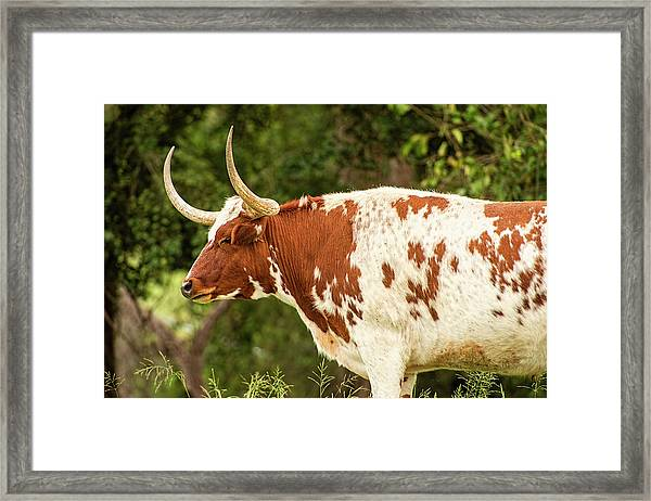 Framed Print featuring the photograph Longhorn Bull In The Paddock by Rob D Imagery