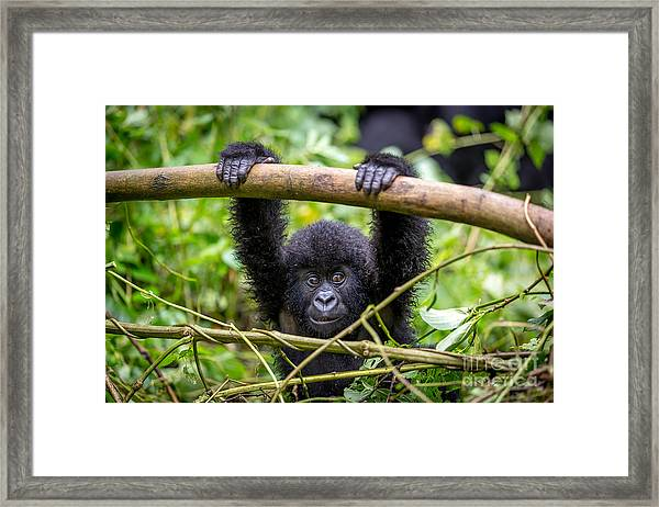 A Baby Gorila Inside The Virunga Framed Print by Lmspencer