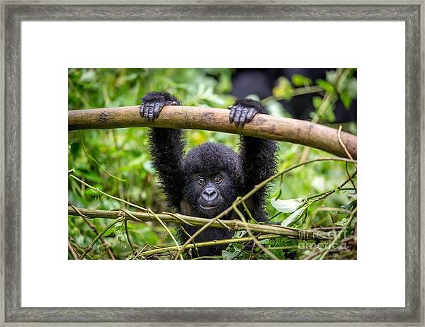 A Baby Gorila Inside The Virunga Framed Print
