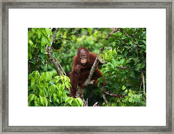A Baby Orangutan In The Wild Framed Print