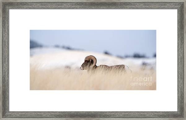 A Big Horn Sheep Ram Walking From The Framed Print