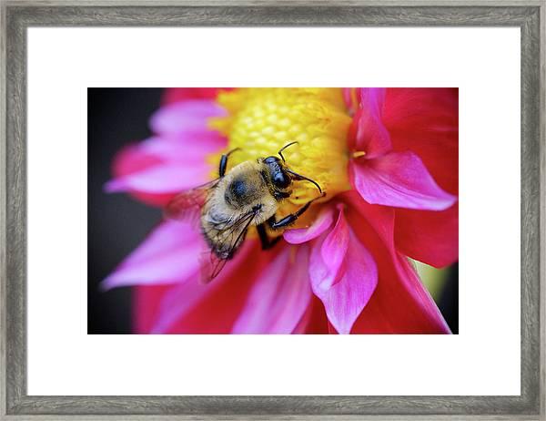 A Bumblebee On A Flower Framed Print