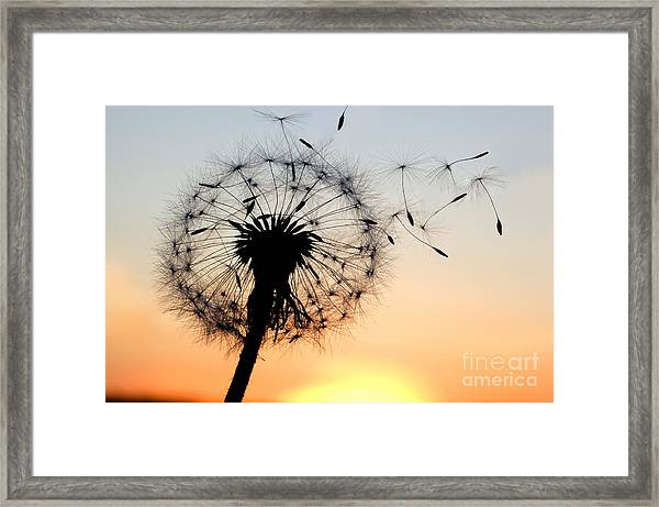 A Dandelion Blowing Seeds In The Wind Framed Print