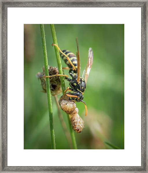 A European Paper Wasp Eating Prey Sitting On Grass Framed Print
