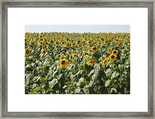 A Field Of Cultivated Sunflowers Framed Print