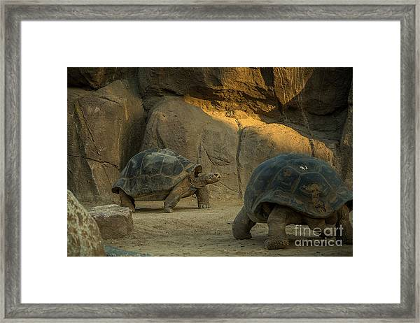 A Giant Galapagos Turtles On A Walk Framed Print