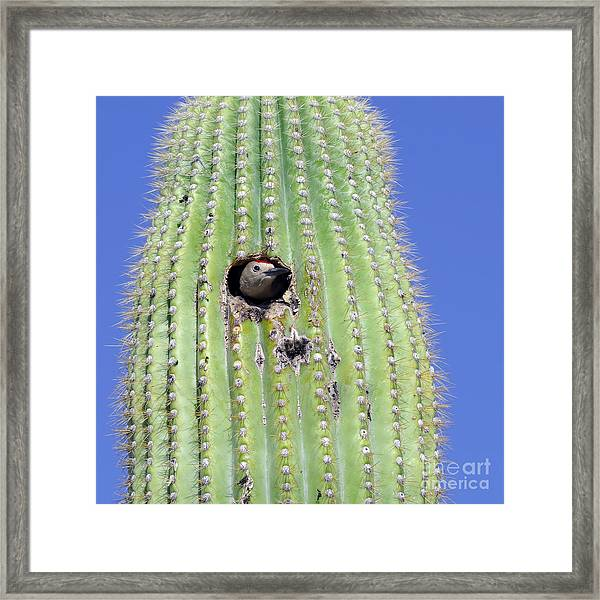 A Gila Woodpecker Sticking Its Head Out Framed Print