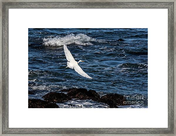 A Great Egret Soars Over Waves Framed Print