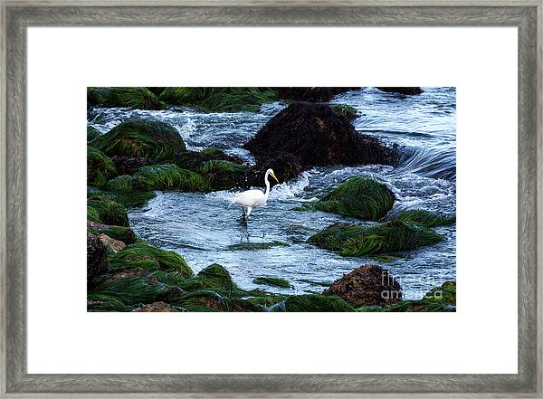 A Great Egret Watches The Incoming Tide Framed Print